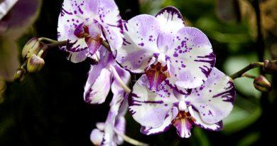 Выставки орхидей в Ботанических садах двух столиц