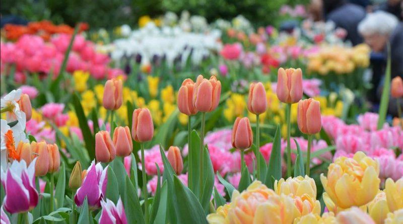 10 тысяч тюльпанов и других весенних цветов на выставке «Репетиция весны» в Москве