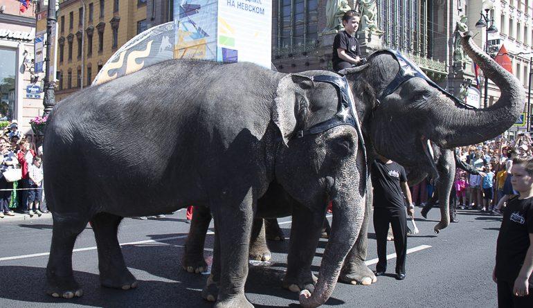 По центру Петербурга прошли слоны