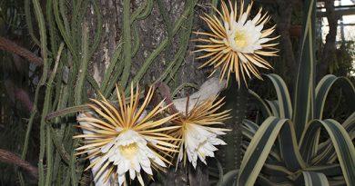 Царица ночи, цветение, Гондурас, Ботанический сад Петра Великого, выставка пионов, кактус